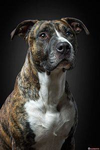 Beat-Pitbull-fotomorgana-pasja_fotografija